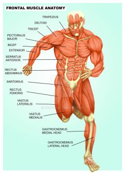 Muscle Anatomy (by Nathan Webb) by we66y