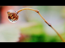 raindrop berry by Shreever