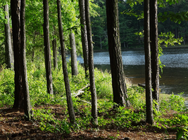 Pine Trees by the Lake Stock Photo by Atlantagirl