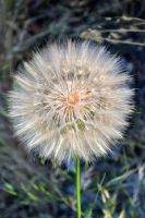 STOCK - A Dandy Lion's Mane by jocarra