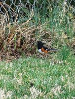 Rufous-sided Towhee by justamom