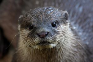 Otter Face by cycoze
