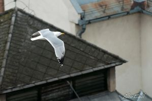gull in the city by albuemil