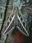 White-Lined Sphinx Moth [2 of 4] by Archarugen