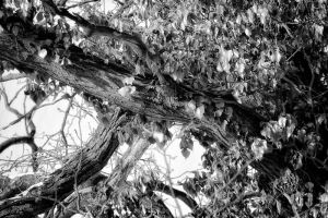 Branches black and white by Tjabula