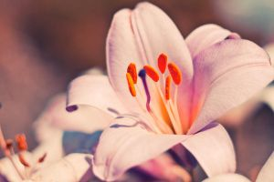 tenderness lily by Innette