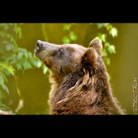 Animal 127 Brown Bear by cinnabarr