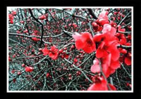 Quince Blossoms by time-warrior