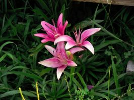 Lillies 2011 by neice1176
