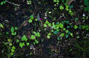 Ivy on the ground by NDC880117