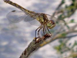 Dragonfly by D173190