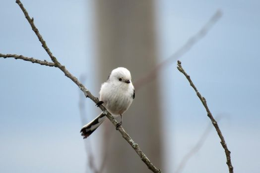 Long-tailed tit #2 by AnAE11