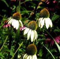White Coneflowers by Tails-155