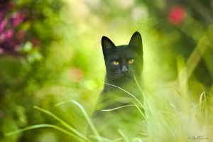 Black Cat by BenHeine