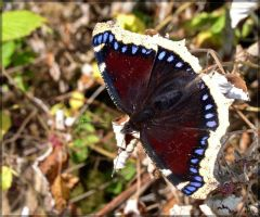 Mourning cloak by J-Y-M