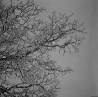 Beta - Ilford - white tree by Picture-Bandit