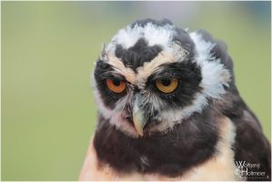 2011-114  Spectacled Owl by W0LLE