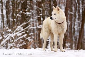 Arctic Wolf by cottondragon