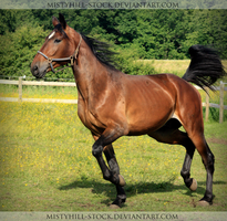 Bay Warmblood 3 by MistyHills-STOCK