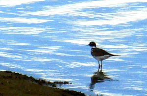 Plover by PamplemousseCeil
