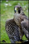 Peregrine by Chikrata