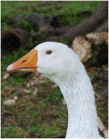 White Goose I by Eirian-stock