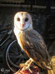 Indonesian Barn Owl by bagoestm