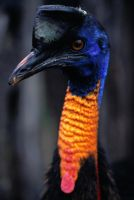 Cassowary by jbrum