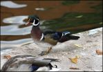 Wood Duck by RandyHand