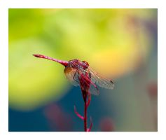 dragonfly by chirkhef