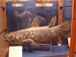 Coelacanth stock by Flyg-stock