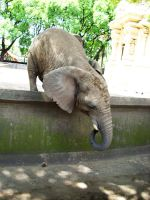 Elephant 7 by Etereas-stock