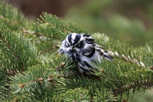 Black and White Warbler by RocksRose