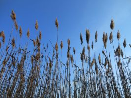 Grasses 01 by Dracofemi
