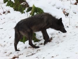 Black wolf Waking Stock by AngelSTOCK22