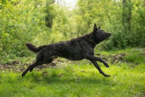 Dutch Shepherd Dog 3 by Lakela