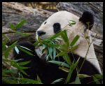 giant panda by morho