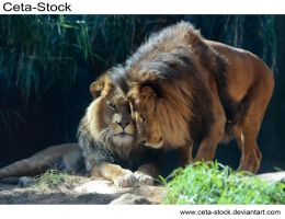 Lion 8 by Ceta-Stock