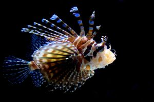 Lionfish by lokinst