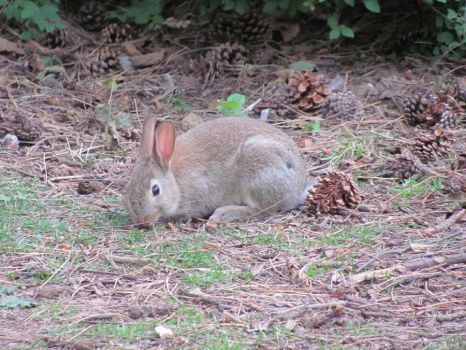 Wild rabbit by ownedsince82