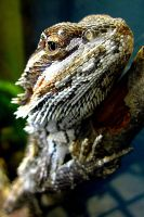 Bearded Dragon by Trish-the-Stalker