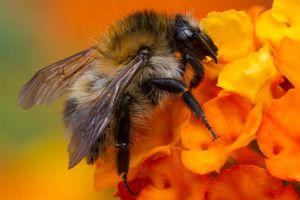 Bee macro by ChristophMaier