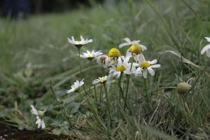 Daisys Daisys, White and Gold by Padfoot-x