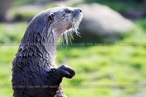Canadian Otter by InsaneGelfling