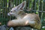 Fennec Stock 19 by Malleni-Stock