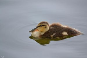 ducky by Iulian-dA-gallery
