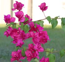 Favorite fushia Bougainvillea by trendyblue