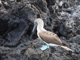 blue-footed booby by wam17