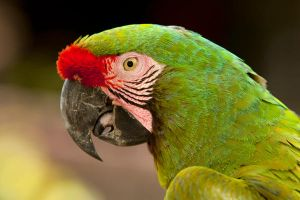 The Great Green Macaw by frankylie