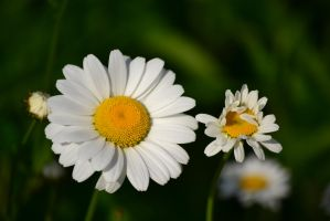 Daisy Love :-) by Gr8-Gatensby